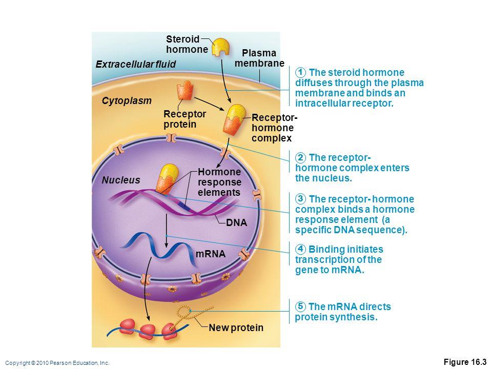 Copyright © 2010 Pearson Education, Inc. Figure 16.3 mRNA New protein DNA Hormone response elements Receptor- hormone complex Receptor protein Cytopla