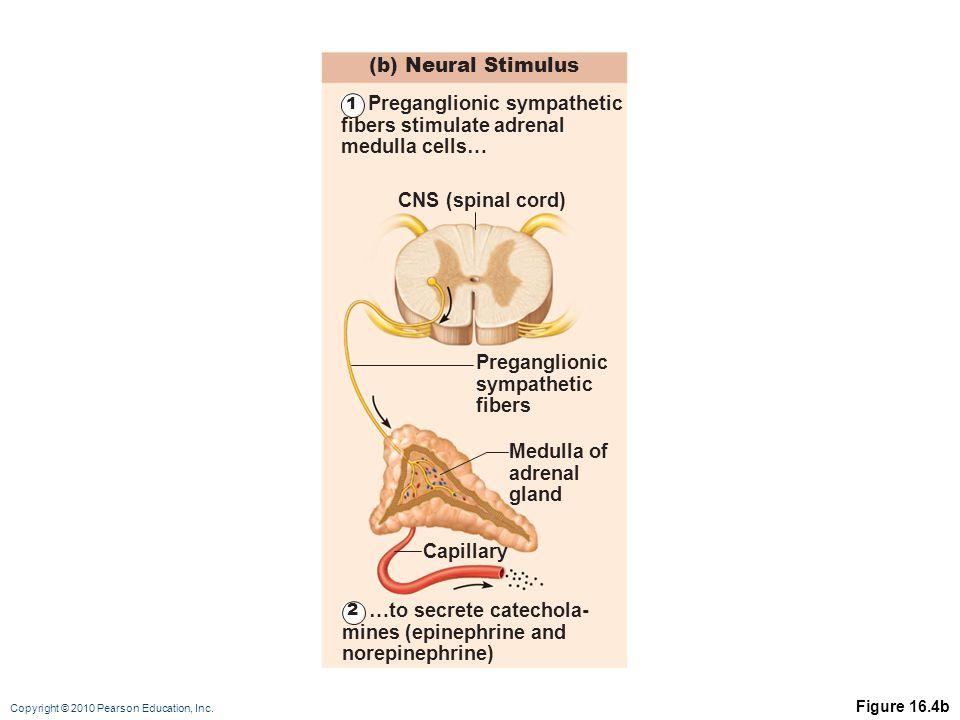 Copyright © 2010 Pearson Education, Inc. Figure 16.4b (b) Neural Stimulus CNS (spinal cord) Medulla of adrenal gland Preganglionic sympathetic fibers