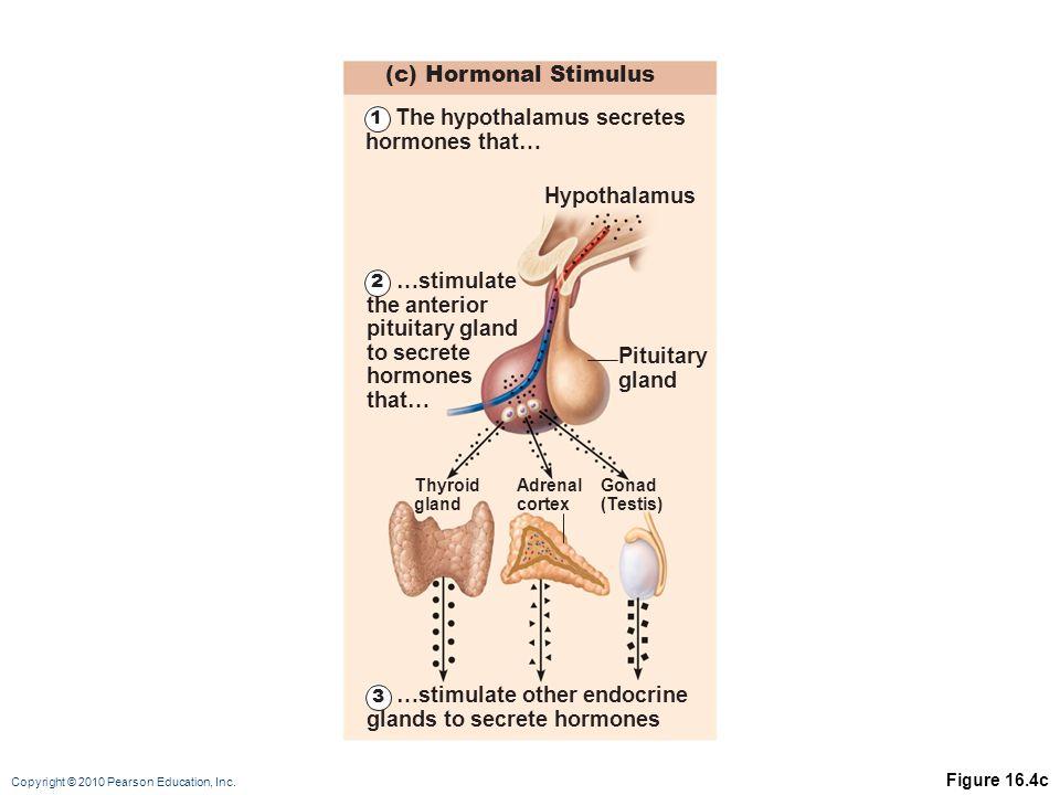 Copyright © 2010 Pearson Education, Inc. Figure 16.4c (c) Hormonal Stimulus Hypothalamus Thyroid gland Adrenal cortex Gonad (Testis) Pituitary gland 1