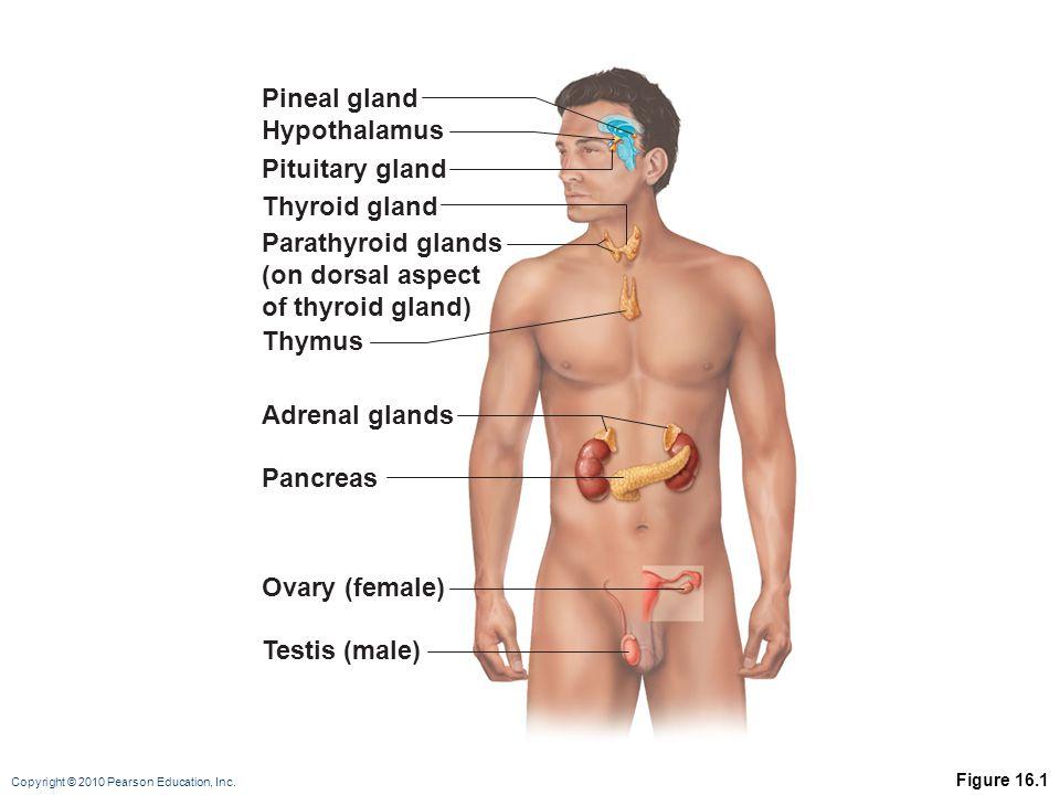 Copyright © 2010 Pearson Education, Inc. Figure 16.1 Pineal gland Hypothalamus Pituitary gland Parathyroid glands (on dorsal aspect of thyroid gland)