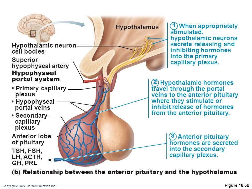 Copyright © 2010 Pearson Education, Inc. Figure 16.5b 1 2 3 When appropriately stimulated, hypothalamic neurons secrete releasing and inhibiting hormo