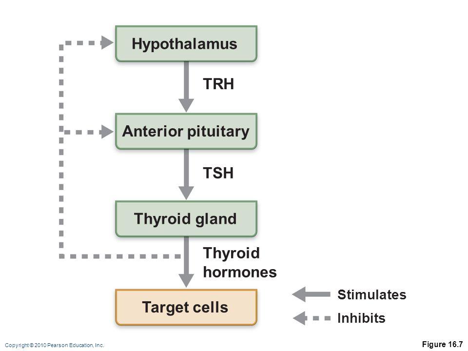 Copyright © 2010 Pearson Education, Inc. Figure 16.7 Hypothalamus Anterior pituitary Thyroid gland Thyroid hormones TSH TRH Target cells Stimulates In