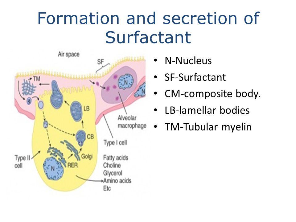 Formation and secretion of Surfactant N-Nucleus SF-Surfactant CM-composite body. LB-lamellar bodies TM-Tubular myelin