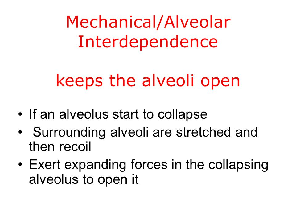Mechanical/Alveolar Interdependence keeps the alveoli open If an alveolus start to collapse Surrounding alveoli are stretched and then recoil Exert ex