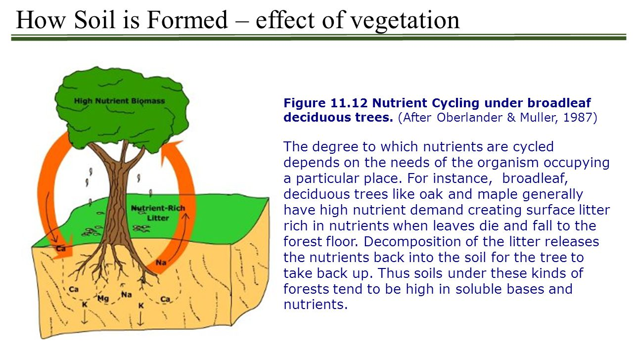 How Soil is Formed – effect of vegetation Figure 11.12 Nutrient Cycling under broadleaf deciduous trees. (After Oberlander & Muller, 1987) The degree