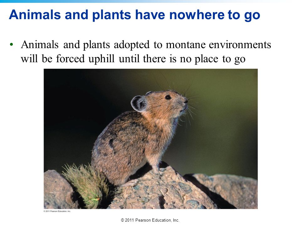 © 2011 Pearson Education, Inc. Animals and plants have nowhere to go Animals and plants adopted to montane environments will be forced uphill until th