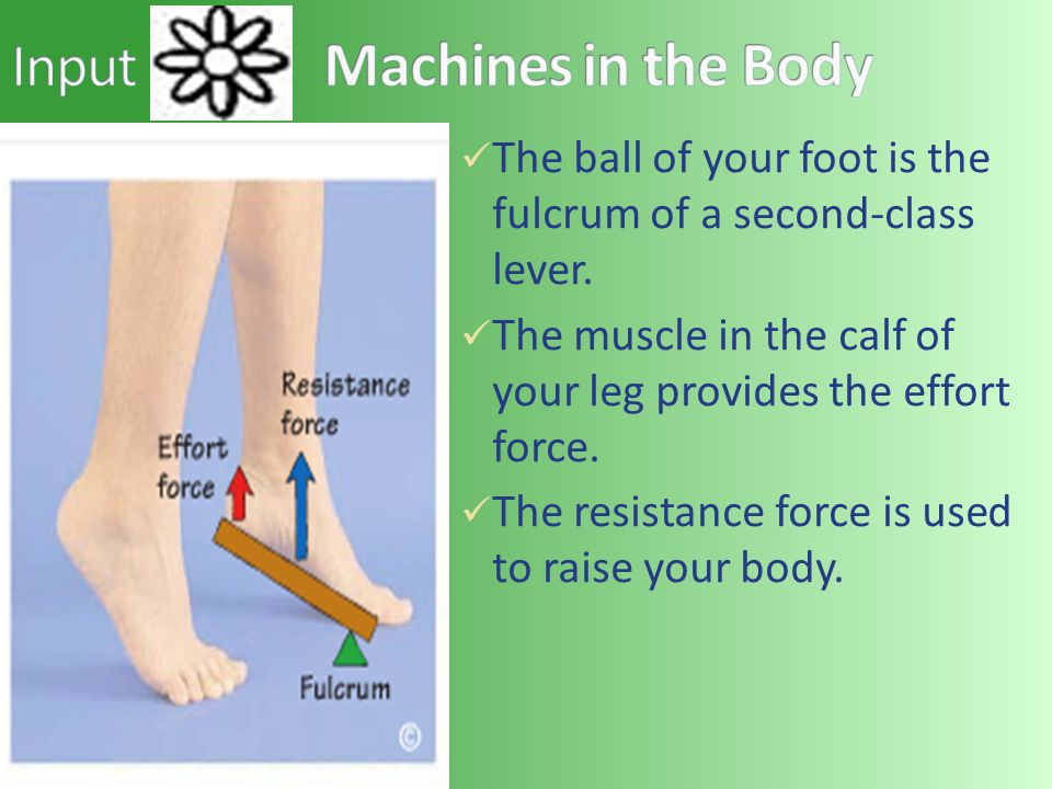 The ball of your foot is the fulcrum of a second-class lever. The muscle in the calf of your leg provides the effort force. The resistance force is us