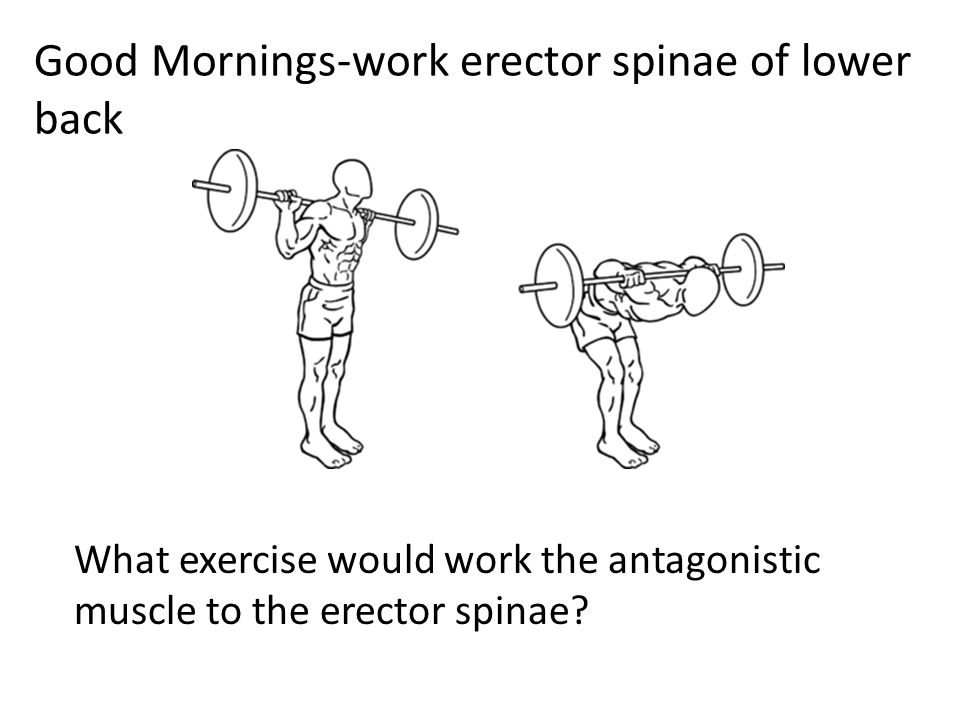 Good Mornings-work erector spinae of lower back What exercise would work the antagonistic muscle to the erector spinae?