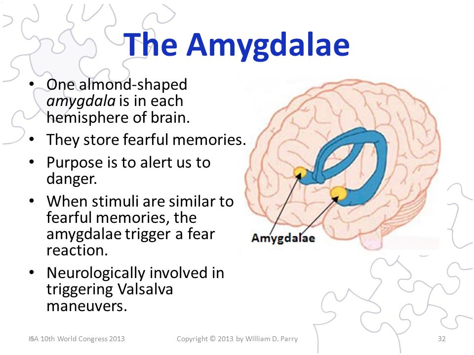 The Amygdalae One almond-shaped amygdala is in each hemisphere of brain.
