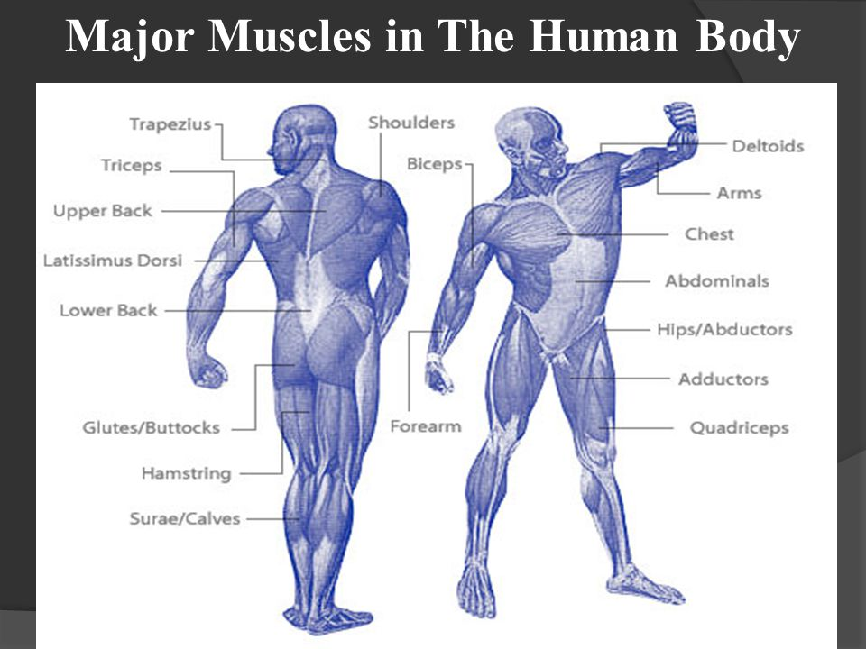 Major Muscles in The Human Body