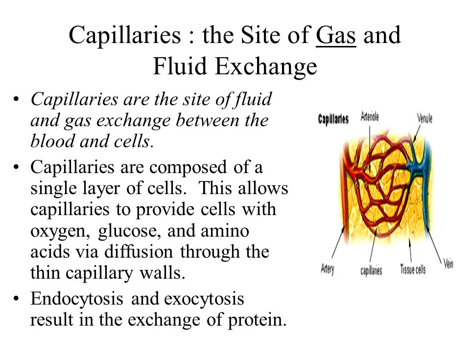 Capillaries : the Site of Gas and Fluid Exchange Capillaries are the site of fluid and gas exchange between the blood and cells. Capillaries are compo