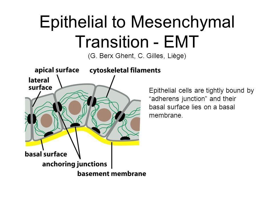 Epithelial to Mesenchymal Transition - EMT (G. Berx Ghent, C.