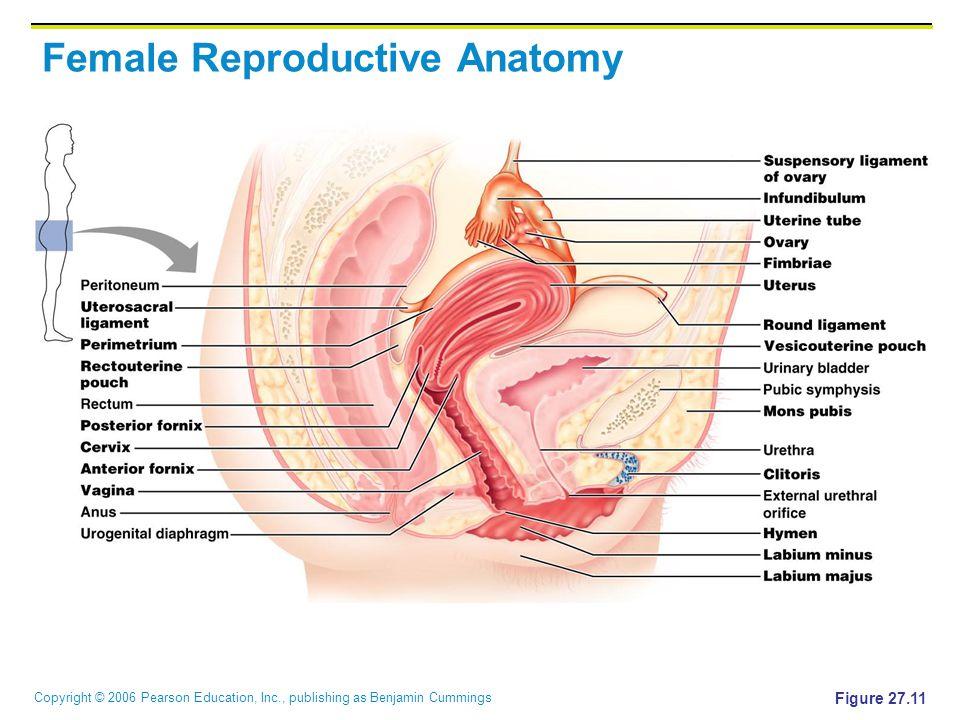 Copyright © 2006 Pearson Education, Inc., publishing as Benjamin Cummings Female Reproductive Anatomy Figure 27.11