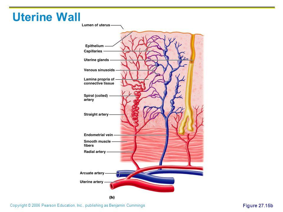 Copyright © 2006 Pearson Education, Inc., publishing as Benjamin Cummings Uterine Wall Figure 27.15b