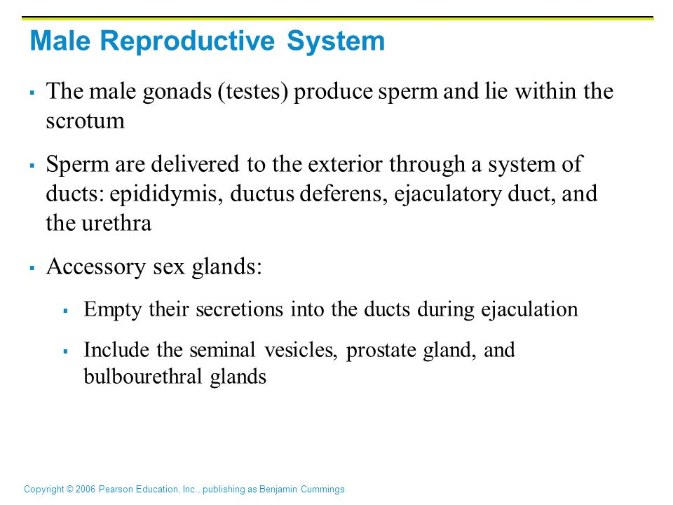 Copyright © 2006 Pearson Education, Inc., publishing as Benjamin Cummings Male Reproductive System  The male gonads (testes) produce sperm and lie within the scrotum  Sperm are delivered to the exterior through a system of ducts: epididymis, ductus deferens, ejaculatory duct, and the urethra  Accessory sex glands:  Empty their secretions into the ducts during ejaculation  Include the seminal vesicles, prostate gland, and bulbourethral glands