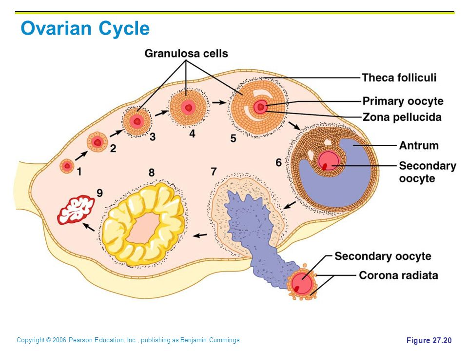 Copyright © 2006 Pearson Education, Inc., publishing as Benjamin Cummings Ovarian Cycle Figure 27.20