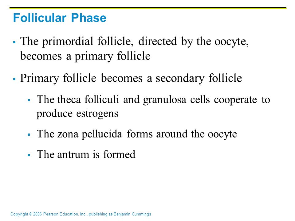 Copyright © 2006 Pearson Education, Inc., publishing as Benjamin Cummings Follicular Phase  The primordial follicle, directed by the oocyte, becomes a primary follicle  Primary follicle becomes a secondary follicle  The theca folliculi and granulosa cells cooperate to produce estrogens  The zona pellucida forms around the oocyte  The antrum is formed