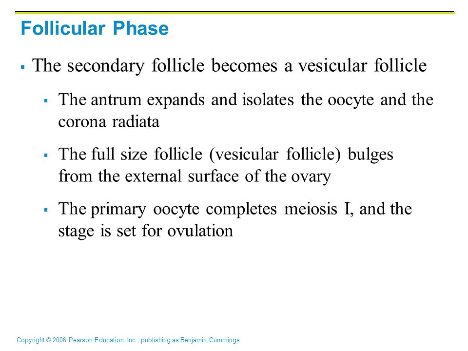 Copyright © 2006 Pearson Education, Inc., publishing as Benjamin Cummings Follicular Phase  The secondary follicle becomes a vesicular follicle  The antrum expands and isolates the oocyte and the corona radiata  The full size follicle (vesicular follicle) bulges from the external surface of the ovary  The primary oocyte completes meiosis I, and the stage is set for ovulation