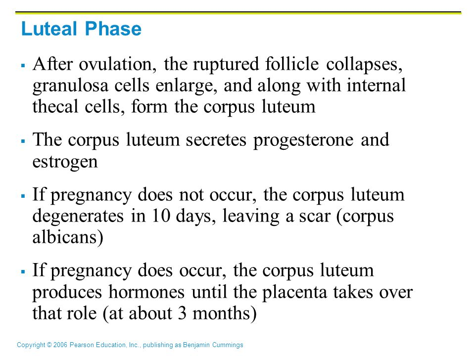 Copyright © 2006 Pearson Education, Inc., publishing as Benjamin Cummings Luteal Phase  After ovulation, the ruptured follicle collapses, granulosa cells enlarge, and along with internal thecal cells, form the corpus luteum  The corpus luteum secretes progesterone and estrogen  If pregnancy does not occur, the corpus luteum degenerates in 10 days, leaving a scar (corpus albicans)  If pregnancy does occur, the corpus luteum produces hormones until the placenta takes over that role (at about 3 months)