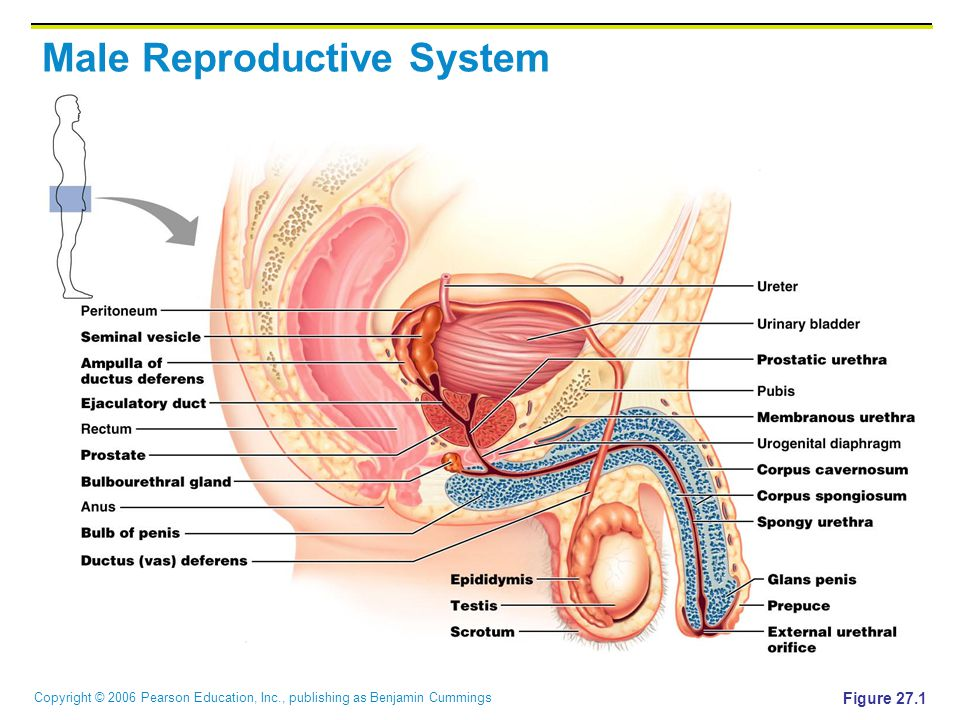 Copyright © 2006 Pearson Education, Inc., publishing as Benjamin Cummings Male Reproductive System Figure 27.1