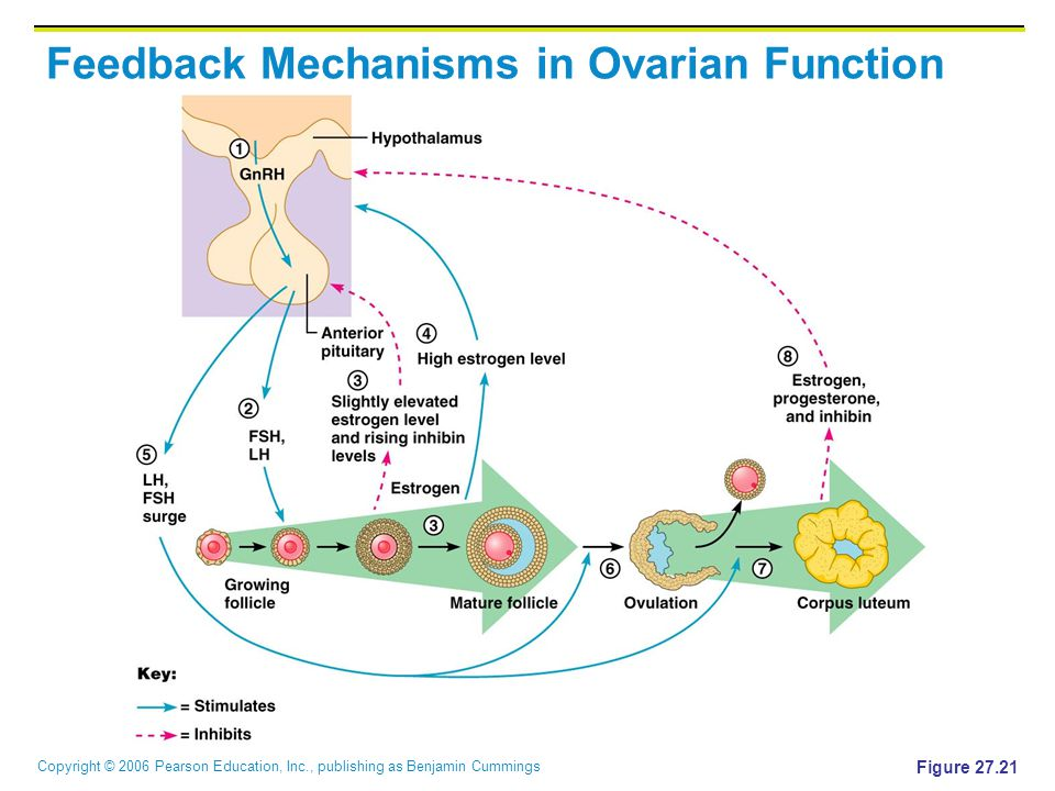 Copyright © 2006 Pearson Education, Inc., publishing as Benjamin Cummings Feedback Mechanisms in Ovarian Function Figure 27.21