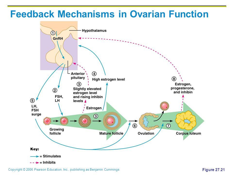 Copyright © 2006 Pearson Education, Inc., publishing as Benjamin Cummings Feedback Mechanisms in Ovarian Function Figure 27.21