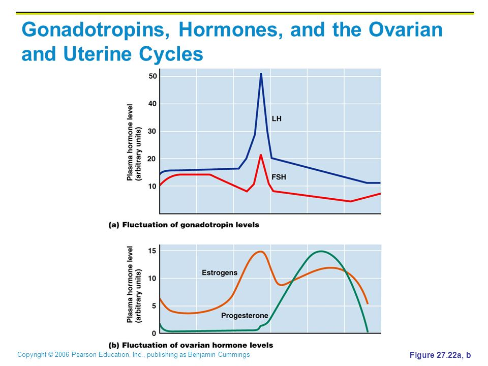Copyright © 2006 Pearson Education, Inc., publishing as Benjamin Cummings Gonadotropins, Hormones, and the Ovarian and Uterine Cycles Figure 27.22a, b