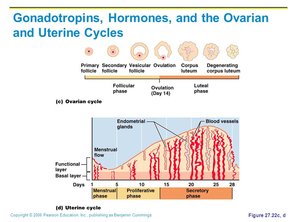 Copyright © 2006 Pearson Education, Inc., publishing as Benjamin Cummings Gonadotropins, Hormones, and the Ovarian and Uterine Cycles Figure 27.22c, d