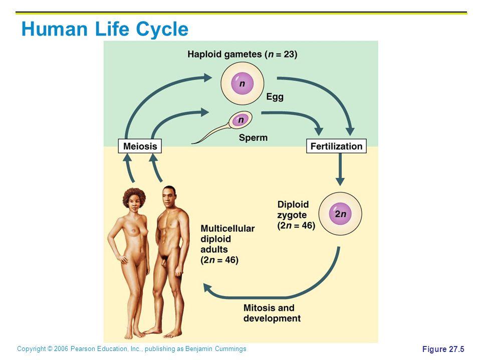 Copyright © 2006 Pearson Education, Inc., publishing as Benjamin Cummings Human Life Cycle Figure 27.5
