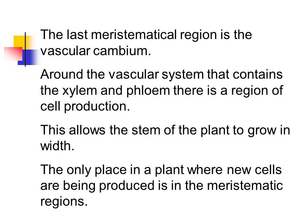 The last meristematical region is the vascular cambium.