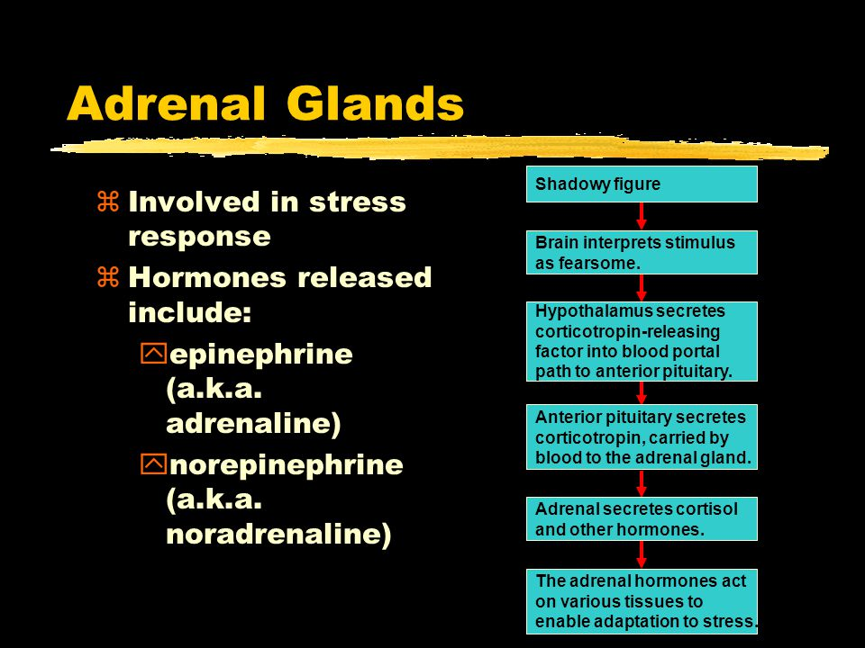 25 Adrenal Glands zInvolved in stress response zHormones released include: yepinephrine (a.k.a.