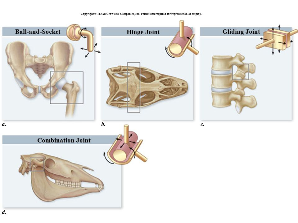 The Muscular System Interactions of Skeletal Muscles in the Body Muscles usually work in groups, i.e.