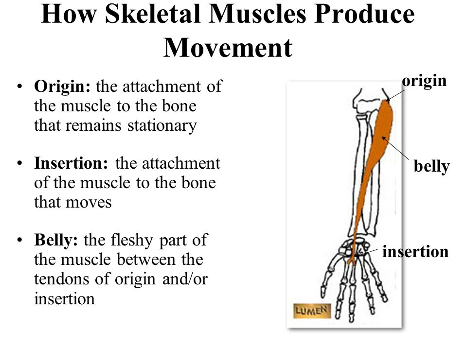 How Skeletal Muscles Produce Movement Origin: the attachment of the muscle to the bone that remains stationary Insertion: the attachment of the muscle