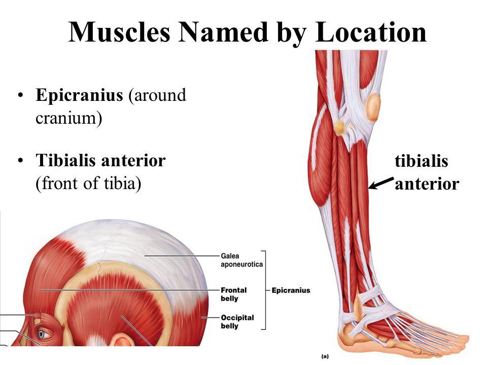 Muscles Named by Location Epicranius (around cranium) Tibialis anterior (front of tibia) tibialis anterior