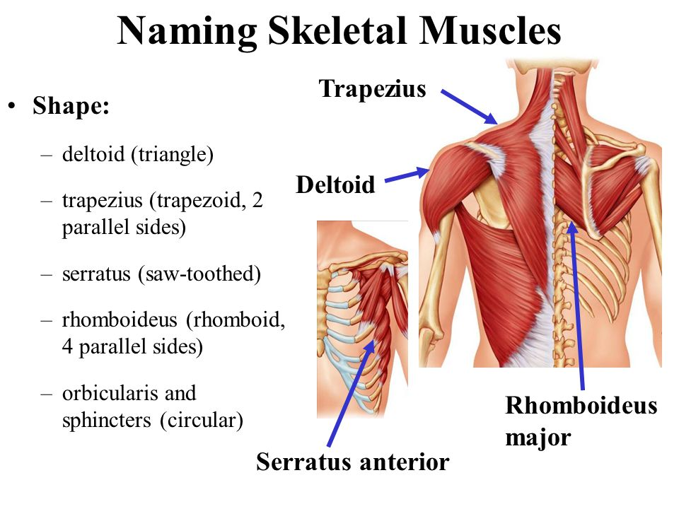 Naming Skeletal Muscles Shape: –deltoid (triangle) –trapezius (trapezoid, 2 parallel sides) –serratus (saw-toothed) –rhomboideus (rhomboid, 4 parallel