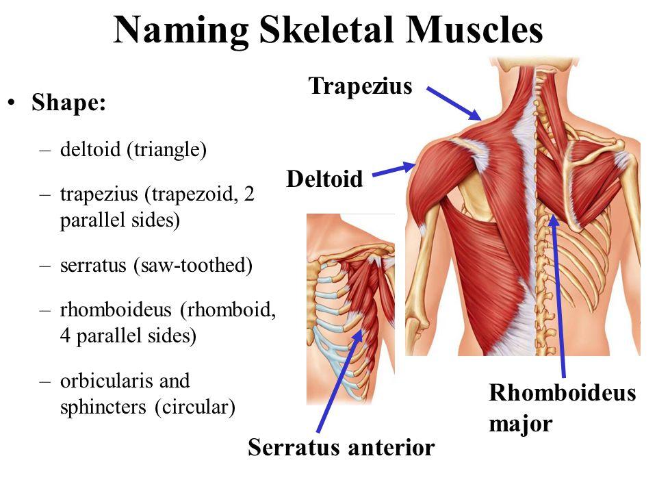 Muscles Named by Size maximus (largest) minimis (smallest) longus (longest) brevis (short) major (large) minor (small) Psoas major Psoas minor
