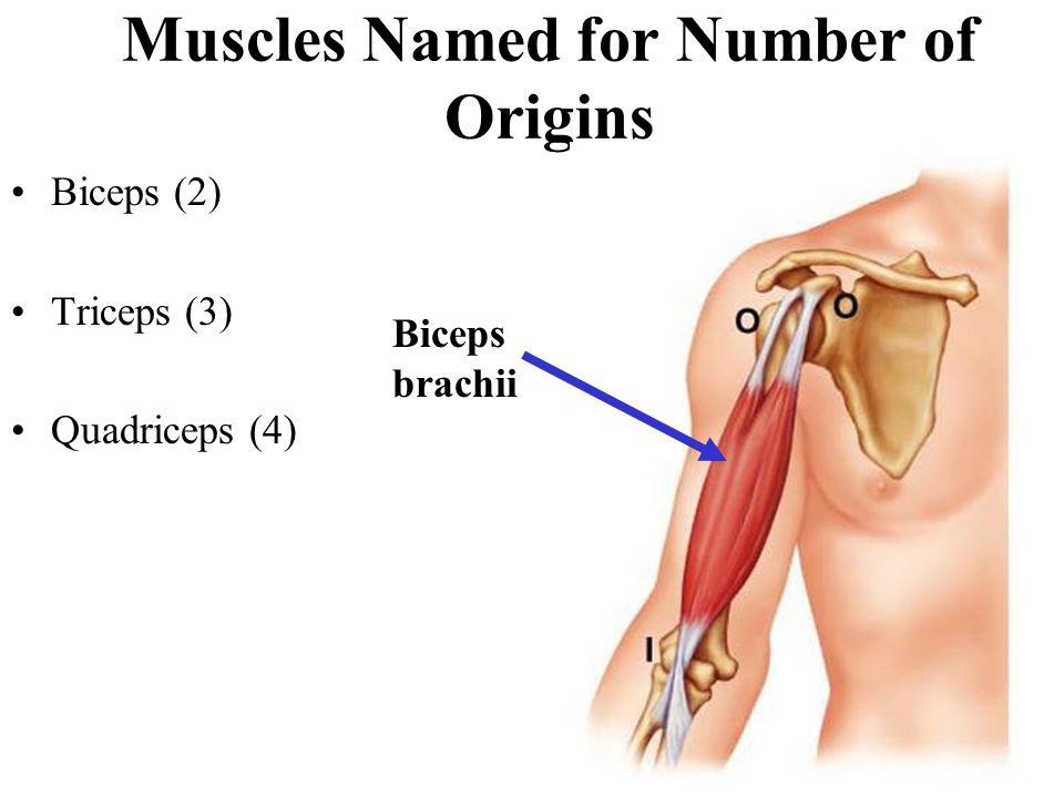 Biceps (2) Triceps (3) Quadriceps (4) Muscles Named for Number of Origins Biceps brachii