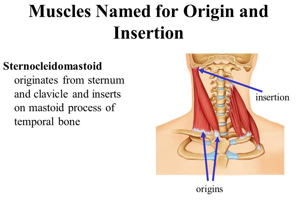 Muscles Named for Origin and Insertion Sternocleidomastoid originates from sternum and clavicle and inserts on mastoid process of temporal bone origin