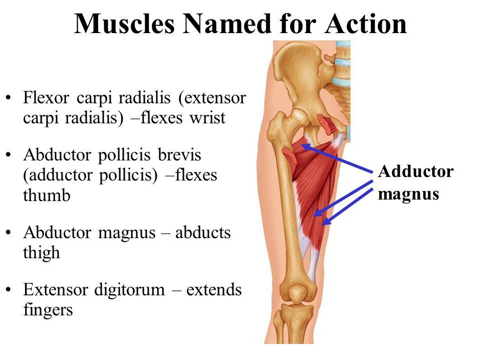 Muscles Named for Action Flexor carpi radialis (extensor carpi radialis) –flexes wrist Abductor pollicis brevis (adductor pollicis) –flexes thumb Abdu