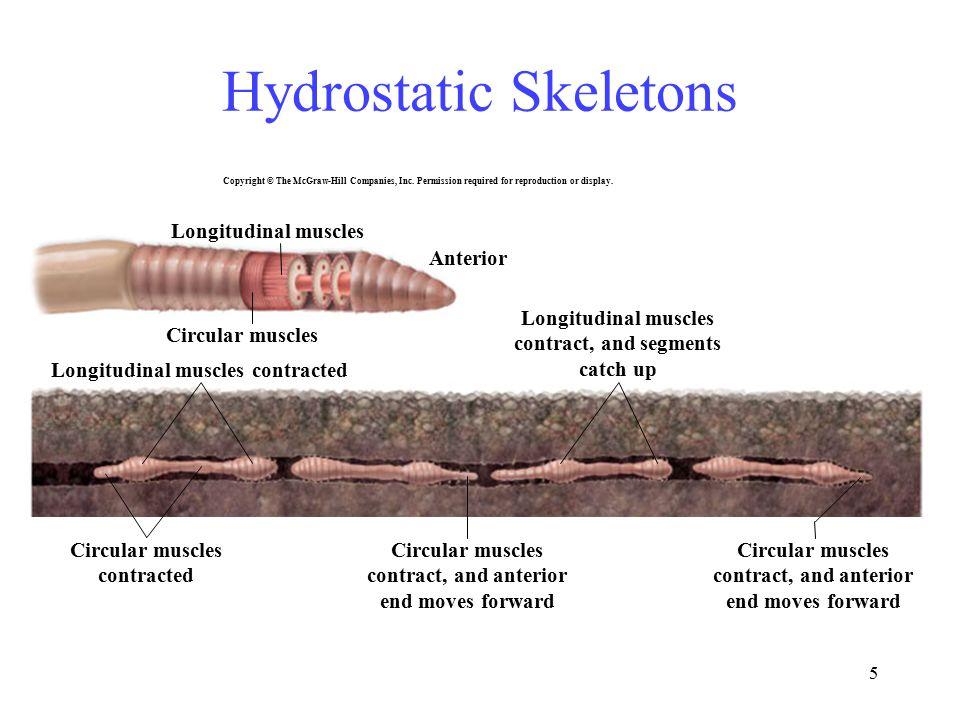 5 Anterior Circular muscles Longitudinal muscles Circular muscles contracted Longitudinal muscles contracted Circular muscles contract, and anterior e