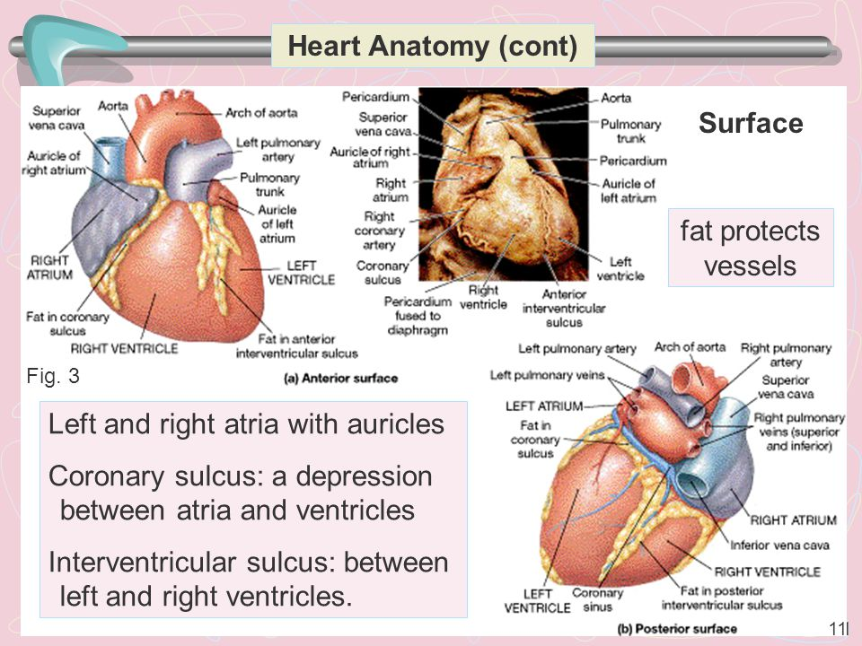 11 Heart Anatomy (cont) Left and right atria with auricles Coronary sulcus: a depression between atria and ventricles Interventricular sulcus: between left and right ventricles.