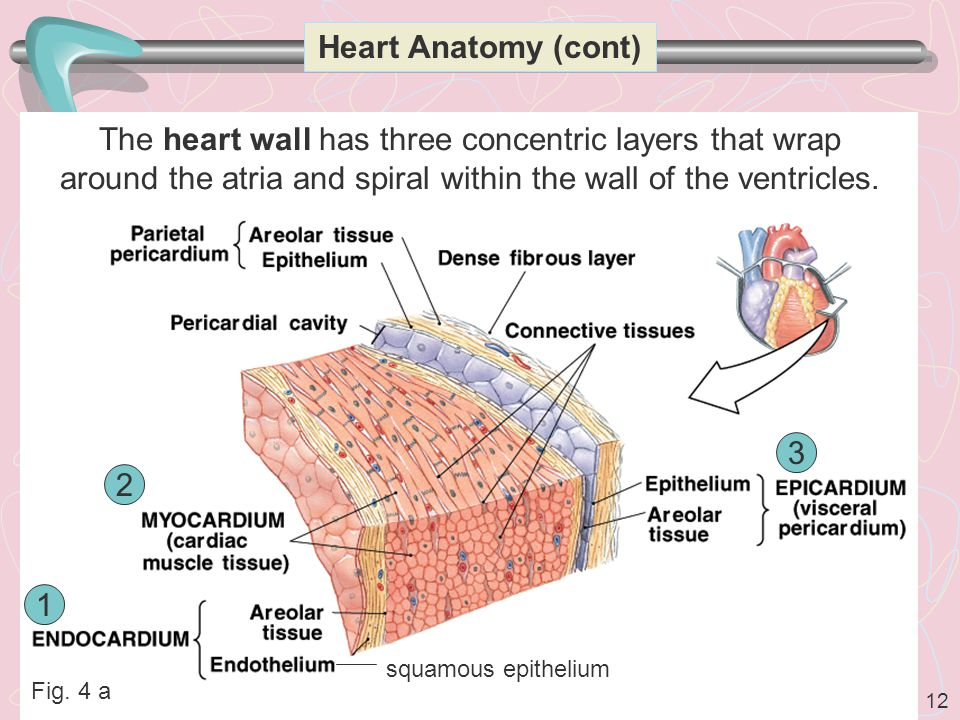 12 Heart Anatomy (cont) The heart wall has three concentric layers that wrap around the atria and spiral within the wall of the ventricles.