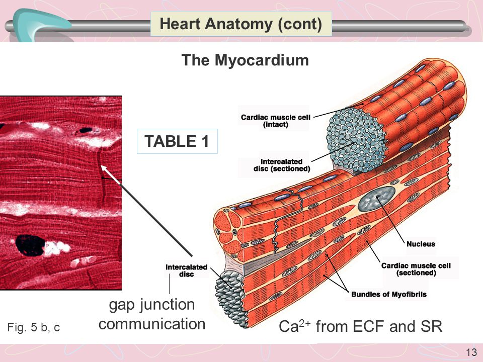 13 Fig. 5 b, c Heart Anatomy (cont) The Myocardium gap junction communication TABLE 1 Ca 2+ from ECF and SR