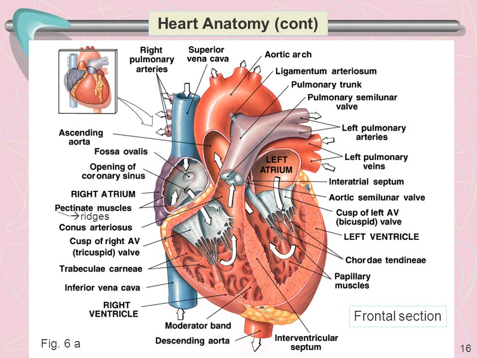 16 Heart Anatomy (cont)  ridges Frontal section Fig. 6 a