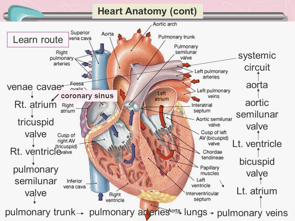 17 Heart Anatomy (cont) venae cavae Rt. atrium tricuspid valve Rt. ventricle pulmonary semilunar valve pulmonary trunk pulmonary arteries lungs pulmon