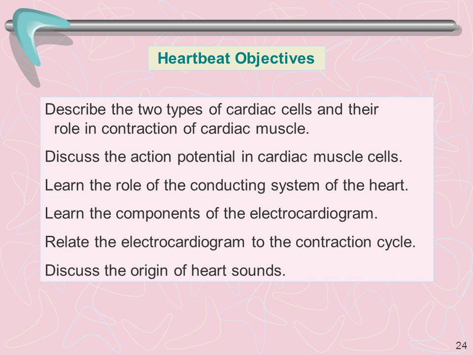 24 Heartbeat Objectives Describe the two types of cardiac cells and their role in contraction of cardiac muscle.