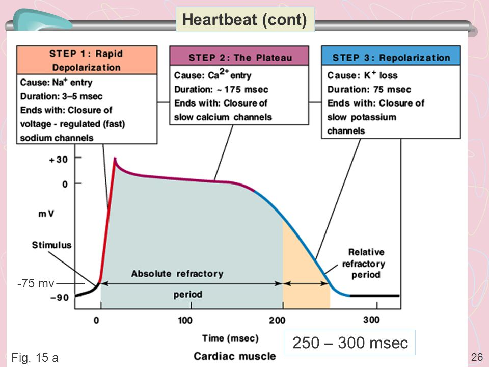 26 Heartbeat (cont) Fig. 15 a -75 mv 250 – 300 msec
