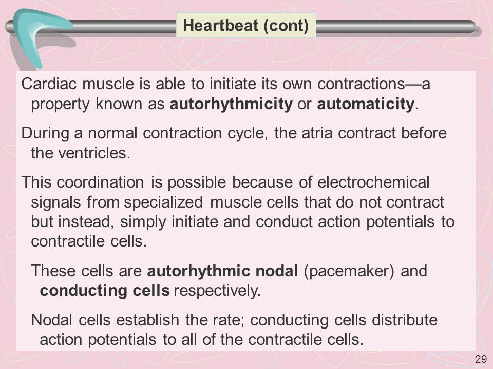 29 Heartbeat (cont) Cardiac muscle is able to initiate its own contractions—a property known as autorhythmicity or automaticity.