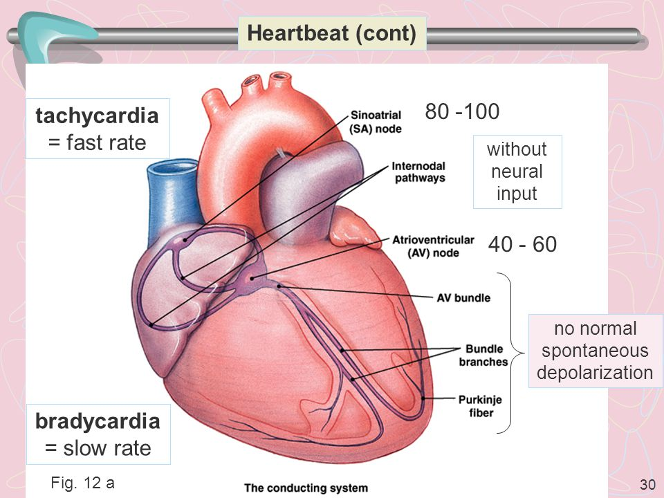 30 Heartbeat (cont) Fig.