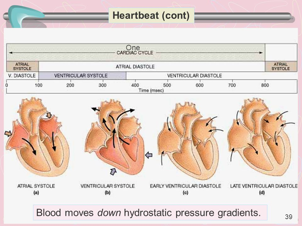 39 Heartbeat (cont) Blood moves down hydrostatic pressure gradients. One 39